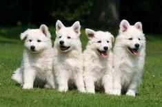 White Swiss Shepard Dogs