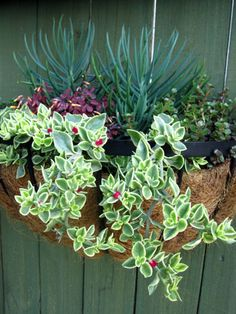 Succulent Hanging Basket | ... hanging basket that will thrive in the sun and needs very little water