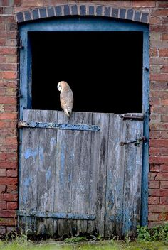 And the little owl, and the cormorant, and the great owl, -Leviticus 11:17