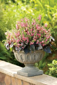Angelface® Pink Angelonia adds height to a container or the landscape. The extra large blooms thrive in hot an humid conditions.