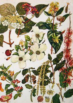 Vintage Botanical Print 155   Flickr - Photo Sharing!