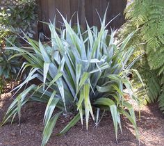 Astelia 'Silver sword' for Ardingly pot with violas - moved to A, end July