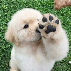 "2,859 Likes, 18 Comments - Golden Retriever (@ilove_goldenretriever) on Instagram: ""Can I touch you?  Credits :@puppysherpa"""