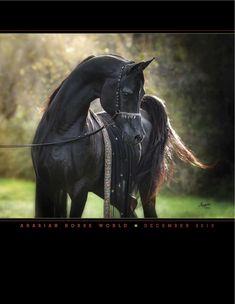 Black Egyptian Arabian stallion Bellagio RCA, December 2013 Arabian Horse World magazine cover