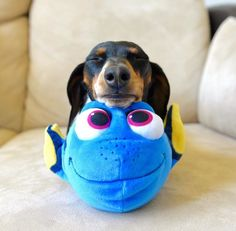 A Doxie with Dory. So cute!