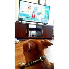 #BoJackHorseman fan.. she is hypnotized with this show😅😅😅🐶🐶 #sbt #staffordshirebullterrier #staffie