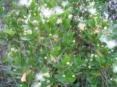 """* Murta * Myrtus communis. Usada para extração do """"Tanino""""(raízes e casca), finalidade medicinal, licor, cosméticos (folhas e flores)."""