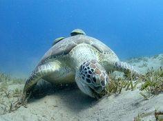 Green Turtle (Chelonia mydas) :: NOAA Fisheries