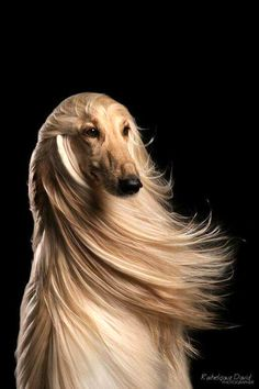 afghan hound hair blowing in the wind glamour shot