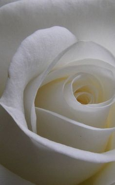 White Rose #HelloWhite