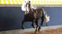 Das Schwarzwälder Kaltblut im Portrait (german black forest draft horse).