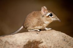 "Elephant shrew-these shrews mature a week after they are born. So cute that when they came up in a video in my wildlife class every girl simultaneously said ""awwwwww!"" and my friend literally started tearing up."