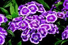 Dianthus: Dianthus barbatus 'Barbarini(R); Purple Picotee'