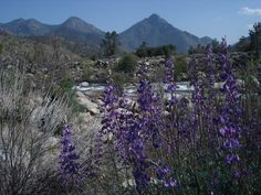 Southern Sierra Nevada Lupine, with the Kern River in the background.
