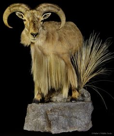 aoudad mount  full life size taxidermy mount