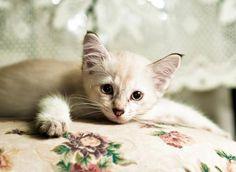 Putra [3]  kitten