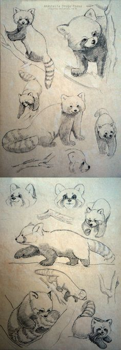 Red Panda sketches by Stasushka on deviantART