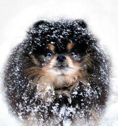 Snow Pommie!