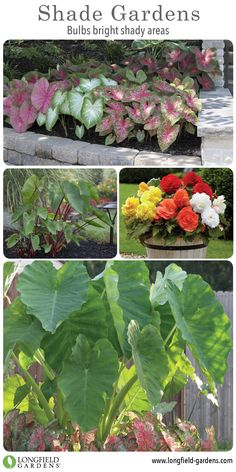 Attrayant These Shade Loving Plants Feature Interesting Foliage And Beautiful  Flowers. Learn How To Select And Grow Some Of The Most Popular Summer Bulbs  For Shade.