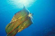 Nature is Freaking Awesome: The Blanket Octopus. The female blanket octopus is immune to the sting of the Portuguese Man-o-War jelly fish. She rips the stingers off those suckers and uses them as whips for anyone who dares to threaten her. Vida Animal, Mundo Animal, Blanket Octopus, Underwater Life, Ocean Creatures, Curious Creatures, Deadly Creatures, Strange Creatures, Creature Feature