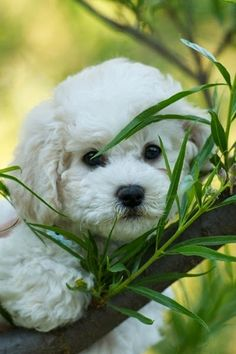 The small-framed Bichon Frise gets along well with children and other animals. Known for its white puffy coat and curious name, the Bichon Frise is considered an active, easily trained dog. Overall, a wonderful breed for families and individuals alike.