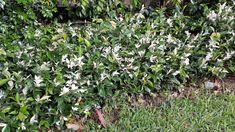 Trachelospermum 'Tricolor' Trachelospermum Jasminoides, New Tricks, Nurseries, Landscape, Green, Flowers, Plants, Babies Rooms, Childs Bedroom