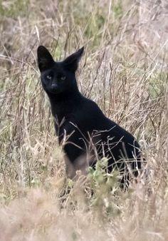 Kenyan Black Serval Cat. Photo Sergio Pitamitz.