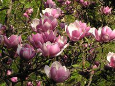 Magnolia <3