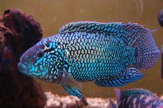 jack dempsey fish | Jack Dempsey