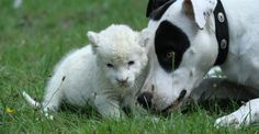 Lejon is a 2-year-old pointer mongrel, and Jojo is a 3-week-old white lion cub. They are both energetic guys.