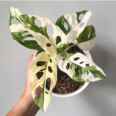 Houseplants for Better Sleep Variegated Monstera Adansonii Variegated Punctured Leaves Look Very Beautiful For Decoration 50 Seed Unusual Plants, Rare Plants, Cool Plants, Green Plants, Tropical Plants, Plantas Indoor, Belle Plante, Plant Aesthetic, Plants Are Friends