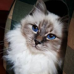 webcam - The World`s Most Visited Video Chat Kittens Cutest, Cats And Kittens, Ragdoll Cats, Pretty Cats, Beautiful Cats, I Love Cats, Cool Cats, Cats And Cucumbers, Birman Cat