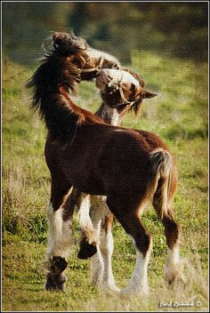 Playful Clydesdale Foals.