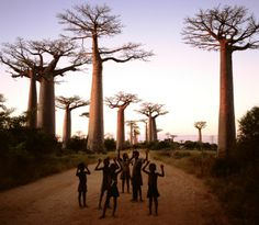 Children seem to echo the forms of the legendary baobab trees on a road through some of Madagascar's endangered forests. (Baobab trees of Madagascar) (© Harry Hook/Getty Images) Le Baobab, Baobab Tree, All Nature, Science Nature, Sequoia, Unique Trees, Big Tree, Natural Wonders, Mother Earth