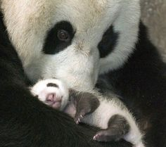Iddie biddie panda and mommie