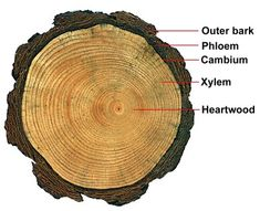 study of tree rings