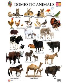 Spectrum Laminated Educational Pre School Kids Domestic … – A Selection of Pins about Animals Young Ones Of Animals, Animals For Kids, Cute Animals, English Teaching Materials, Teaching English, Wild Animals Pictures, Animal Pictures, Animals Name In English, Farm Animals Preschool