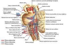 Resultado de imagen de anatomia tronco cerebral