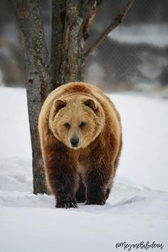 Brown Bear, Drawing Reference, All Pictures, Winter Wonderland, Baby Animals, Wildlife, Creatures, Point Blank, Nature