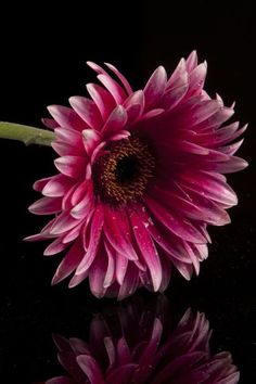 i love flowers for different reasons… this is my favorite favorite flower… the gerbera daisy Amazing Flowers, My Flower, Pink Flowers, Beautiful Flowers, Gerbera Flower, Happy Flowers, Flower Bouquets, Flowers Nature, Bridal Bouquets