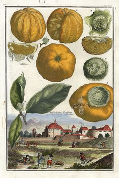 Fruit Prints from Volckamer 1708, citrus. Rare and whimsical copper engraving from Volckamer's Nuernbergische Hesperides, circa 1708-14.