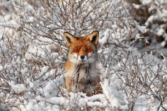 """Roeselien Raimond is a Dutch photographer also skilled in illustration and painting. Fascinated by nature for a long time, she naturally decided to shoot fauna and flora. In her new set entitled """"50 Shades Of White With A Touch Of Red"""", she had the chance to catch a fox who seems to enjoy being a […]"""