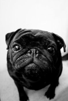 black pug. They're so sweet.