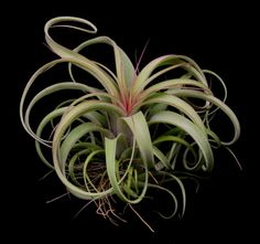 Plant Oddities-Tillandsia concolor X streptophylla
