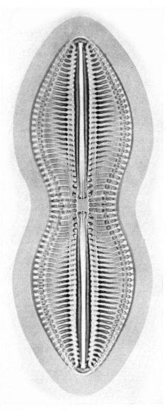 Diatomee - Category:Diatoms - Wikimedia Commons