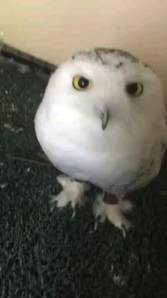 Funny Owls, Funny Parrots, Funny Birds, Cute Funny Animals, Cute Cats, Beautiful Birds, Animals Beautiful, Hamster, Cute Animal Videos