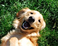Perpetual state of happiness = goldens.
