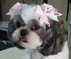The tong the curls and the bows = a really sweet tzu!