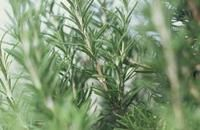 Different Rosemary Plants