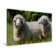 Merinolandschafe in Ostfriesland (Premium Textil-Leinwand, Bild auf Keilrahmen) - CALVENDO